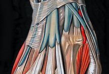 "! Anatomy and Physiology / Anatomy is a visual-oriented subject. The theme, "" only a good anatomist can be great figure-painters"" is aptly reflected in Leonardo da Vinci's skill set. Hopefully, pinterest boards will become a widely used staple means of sharing such graphic illustrations among all students of this subject. - Love, Trisha Hoque / by Trisha Hoque"