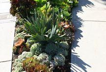 Corriea dry garden