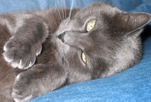 Cat / A lot of Russian Blues here; Tuffy was the most awesome Blue :)