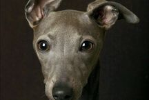 Italian Greyhound  / by Marla Moretti Penn