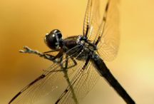 Insects of Phinizy Swamp / Dragonflies, Damselflies, and much more!