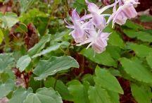 Epimedium-Epimedio-Cappello del vescovo-barrenwort-bishop's hat-fairy wings / Epimedium al vivaio Un quadrato di giardino