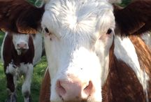⭐️Koeien/Cows