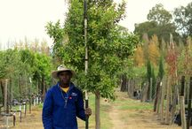 Ficus microcarpa (Hills Weeping Fig) / This versatile tree is suitable for many landscapes, particularly urban environments as it tolerates pollution, shade and root compaction very well. Its thick and dense foliage also makes it useful as a hedge tree. We currently stock 40L, 100L, 200L and 400L of the Hills Weeping Fig. (Last updated 28 March 2017)