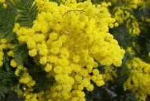 Mimoza çiçekleri bir de ben