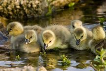 ducklings!!!! / by Penelope Bianchi