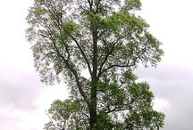 Elm / English elm (Ulmus minor var. vulgaris) is a deciduous tree native to southern and eastern Europe.