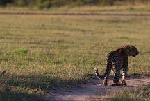 Kwatile (Female leopard)