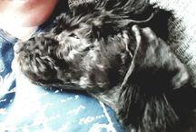 Bedlington terriers Bedlarit