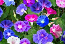 Morning Gloryflowers