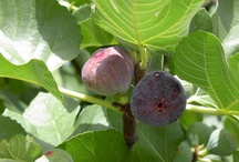 Figues/ Figuiers