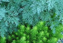 Artemisia Combinations / Plant partnerships that include artemisias (also known as wormwoods)