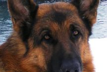 Pictures Von der Otto German Shepherds / Our German Shepherds are more than breeding dogs to us they are part of our family.
