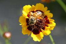 Save the Bees! COVVHA / Agricultural chemicals have recently been linked by multiple studies, to have a seriously devastating effect on our honeybees. Neonicotinoids, which are similar to nicotine, have already been shown to interfere with the bees ability to learn scents, which greatly affects their ability to collect food (Gerken, 2013). As the FDA, USDA and EPA continue to raise the allowable limits on numerous dangerous chemicals, pesticides etc, one can only see how this will continue to be a problem