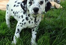 Dalmatian Puppies are my new obsession / by Savanna Stephan-Borer