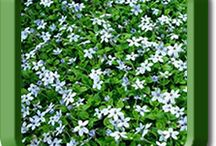 STEPABLES Creeping Perennials / STEPABLE plants are made for walking and a whole lot more! Our plants are perfect for pathways, patios, borders, containers, slopes, courtyards, garden stairs, bark replacement, rock gardens, retaining walls, water features, curbside plantings, no mow areas and more! Ask for our plants at your local garden store or shop on line at www.STEPABLES.com
