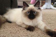 Ragdoll Kitten of the Month