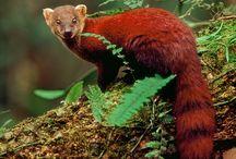 MAGKOYSTA (MEERKAT,  ΣΟΥΡΙΚΑΤΑ , MONGOOCE , FOSSA) / Οι μαγκούστες ή Ερπηστίδες (Herpestidae) είναι οικογένεια μικρών θηλαστικών σαρκοφάγων ζώων της υποτάξης των Αιλουροειδών. Υπάρχουν τριάντα οκτώ είδη μαγκούστας.