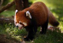 Animals: Red Pandas