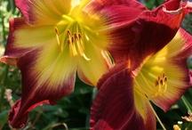 Hemerocallis aka Daylily / by Diann Pavelka