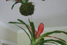 Kokedama / Kokedama, azaz mohagolyó. Végy egy arra alkalmatos növényt, gyúrd bele a gyökérzetét egy mohagolyóba, és helyezd el kedved, hangulatot szerint. Talán ez a kokedama.