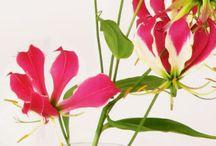 Flame Lily (Gloriosa)