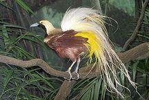 Vogels / Paradisebirds