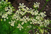Caraway (Carum carvi) / All things related to the medicinal herb Caraway.