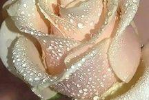 Χρωδιας τρανταφυλλα