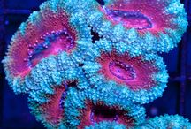 LPS Corals / by Debbie Sirois