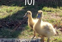 All about Ducks and Ducklings