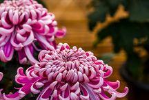 Chrysanthenum
