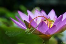 Odonata Dragonflies