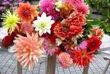 mijn lievelingsbloem / Dahlia's