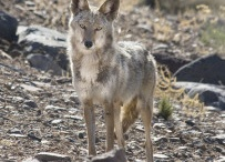 Coyotes / by marianne Noller