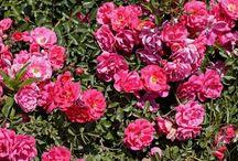 Gardening Flower/Shrub Care