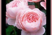 jardin - rosiers