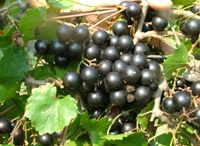 Best Muscadines for wine / You can make wine, juice and jellies out of all muscadines but there are a few varieties that make an exceptional wine.