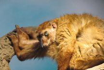 Lemurs / Como Zoo's Lemurs