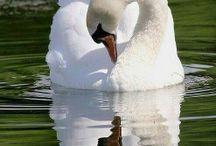 Swan / The Danish national bird