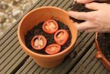 Tomanten selber ziehen