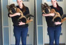 Dog- german sheperd