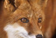 Fox - Liška