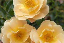 Róże żółte pomarańczowe