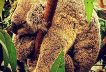 Wildlife-Australie / L'Australie est réputée pour ces espèces endémiques.  Retrouvez ici ces animaux uniques au monde.