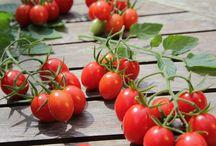 Tomatenwelt / Erfahre alles, was du schon immer über Tomaten wissen wolltest.