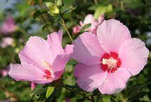 Mugunghwa♥♥ - My favourite flower:))