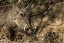 #Animals of Mabalingwe Nature Reserve, Bela-Bela, Limpopo, #SouthAfrica / What kind of wildlife you can expect to find at Mabalingwe, SouthAfrica the Reserve is home of the Big 5 and many more  animal species  #SouthAfrica #vacation #bushveld #selfcatering #animals