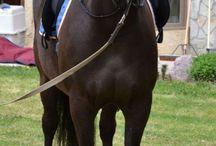 Le Canadien / Le Canadien, qui a pour surnom « petit cheval de fer », est un cheval anciennement utilisé à l'attelage et qui par la force des choses s'est reconverti à la monte. Importé à partir des années 1960, il est issu de chevaux français dont on ne connait pas l'origine.