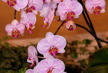&Phalaenopsis